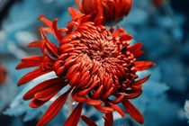 chrysanthemum 2654909 1920